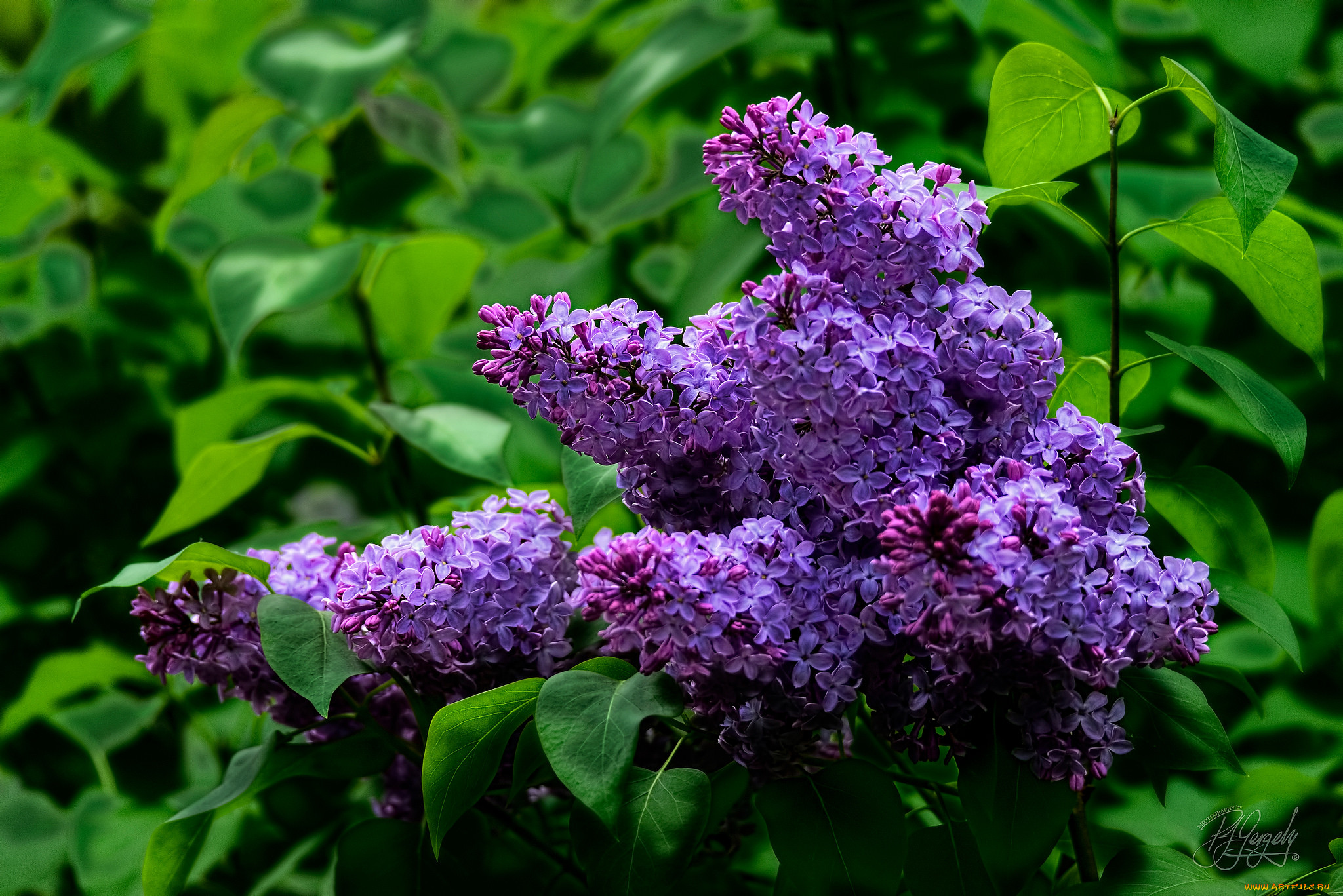 цветение сирени фото для обоев на телефоне свои фото сарыагаша